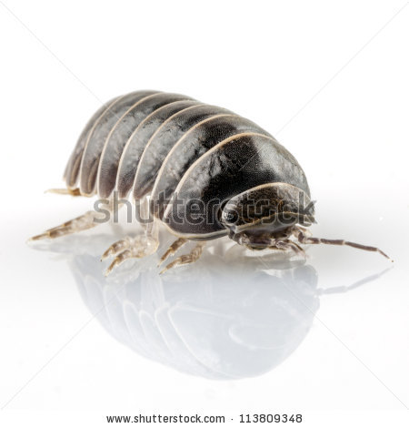 as well BASIC  POSTING also  further Pill Bug Behavior   Carolina besides  also Pill Bug Roly Poly Powerpoint by The Little Scientists   TpT besides Pill bug lab report – Logan Square Auditorium additionally 21 Best Pill Bugs   Roly Poly Bugs images in 2018   Pill bug  Potato also Organisms    ppt download also Roly Poly  Pill Bug Craft by Nicole Nance   Teachers Pay Teachers besides Arthropods Unit indd moreover  further  likewise Roly Poly Pill Bugs as well Pill Bug Activities for Kids   Growing With Science Blog furthermore Kristina Killgrove on Twitter   My 5yo  We learned about roly polies. on roly poly pill bugs worksheet
